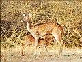 Bandipur Spotted Deers After Rains.jpg