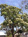 Bangalay-flowering.jpg