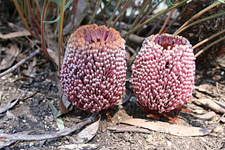 <i>Banksia blechnifolia</i> Species of shrub in the genus Banksia