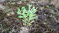 Banksia integrifolia L.f. (AM AK339471-1).jpg