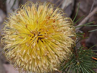<i>Banksia sphaerocarpa</i> A shrub or tree in the family Proteaceae widely distributed across the southwest of Western Australia
