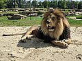 Barbary Lion from Keystone Safari, Grove City Pennsylvania.jpg