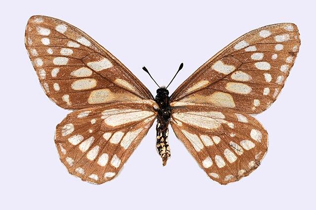 Mariposa Baronia brevicornis