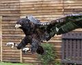 Bateleur Eagle 3 (3938300568).jpg