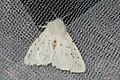 Battered White ermine (NH266) (27685419564).jpg