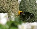 Baya Weaver (Ploceus philippinus)- Male making nest W2 IMG 0657.jpg