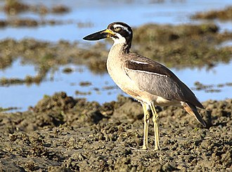 Beach stone-curlew - Image: Beach Stone curlew 7562