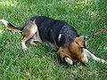 BeagleScratching.jpg
