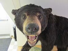 Bear, Connecticut State Museum of Natural History, University of Connecticut, Storrs CT.jpg