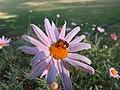 Bee Halictidae 6106.jpg