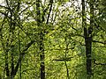 Beech-Maple Forest in Spring - Flickr - treegrow.jpg