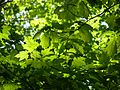 Beech Maple Forest 044 Maple & Beech leaves.jpg