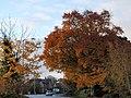 Beech tree, Newton Abbot - geograph.org.uk - 1041746.jpg