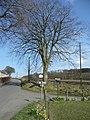 Beech tree - geograph.org.uk - 772487.jpg