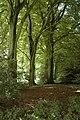Beech trees in Century Plantation - geograph.org.uk - 891894.jpg