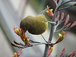 Bellbird feeding