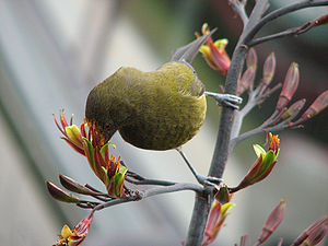 New Zealand bellbird - Bellbird feeding from flax flowers, note the pollen on its forehead which will help pollinate other flowers