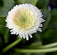 Bellis perennis Tasso® Strawberries & Cream 1zz.jpg