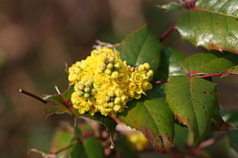 Mahonie (Berberis aquifolium)