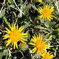 Berkheya fruticosa 23280682.jpg