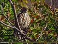 Besra (Accipiter virgatus) (27830689839).jpg