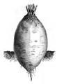 Betterave jaune ovoïde des Barres Vilmorin-Andrieux 1883.png