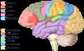 Beyin Bölümleri.png