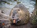Biberratte - Nutria - coypu - Myocastor coypus - ragondin - castor des marais - Mönchbruch - March 23th 2013 - 07.jpg