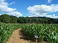 Bickleigh , The Maize Maze - geograph.org.uk - 1223759.jpg
