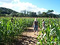 Bickleigh , The Maize Maze - geograph.org.uk - 1224859.jpg