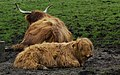 Big Red Hairy Coos (6987140363).jpg