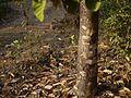 Bili Daamaru (Kannada- ಬಿಳಿ ಡಾವರು) (6792201786).jpg