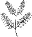 Bipinnate (PSF).png