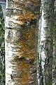 Birch bark (33998104982).jpg