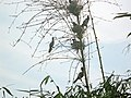 Bird's home in Sylhet.jpg