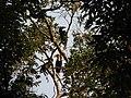 Bird Wreathed Hornbill Rhyticeros undulatus IMG 9195 (25).jpg