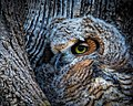 Birds greathornedowls (17655384590).jpg