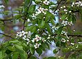 Birnenblüten.jpg