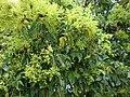 Bischofia javanica flowering.jpg