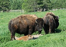 American bison goo wikipedia