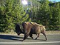 Bison running.jpg