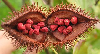 Annatto - Open fruit of the achiote tree (Bixa orellana), showing the seeds from which annatto is extracted.