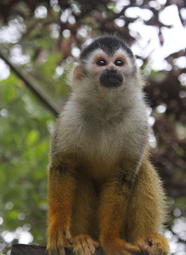 Black-crowned Central American squirrel monkey, Saimiri oerstedii oerstedii.jpg