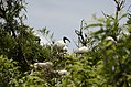 Black-headed ibis (Threskiornis melanocephalus) from Ranganathittu Bird Sanctuary JEG3983.JPG