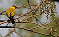 Black-naped Oriole eyeing on Lannea coromandelica fruits W IMG 7455.jpg