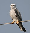 Black-shouldered Kite (Elanus caeruleus) in Kawal WS, AP W IMG 1672.jpg