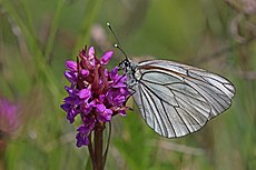 Black-veined white (Aporia crataegi) male underside.jpg