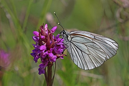 Black-veined white (Aporia crataegi) male on early marsh-orchid (Dactylorhiza incarnata)