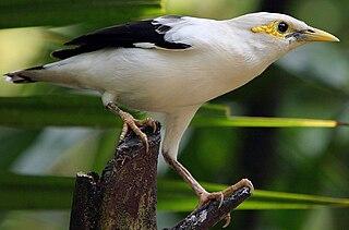 Black-winged starling Species of bird