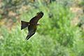 Black Kite AdF.jpg